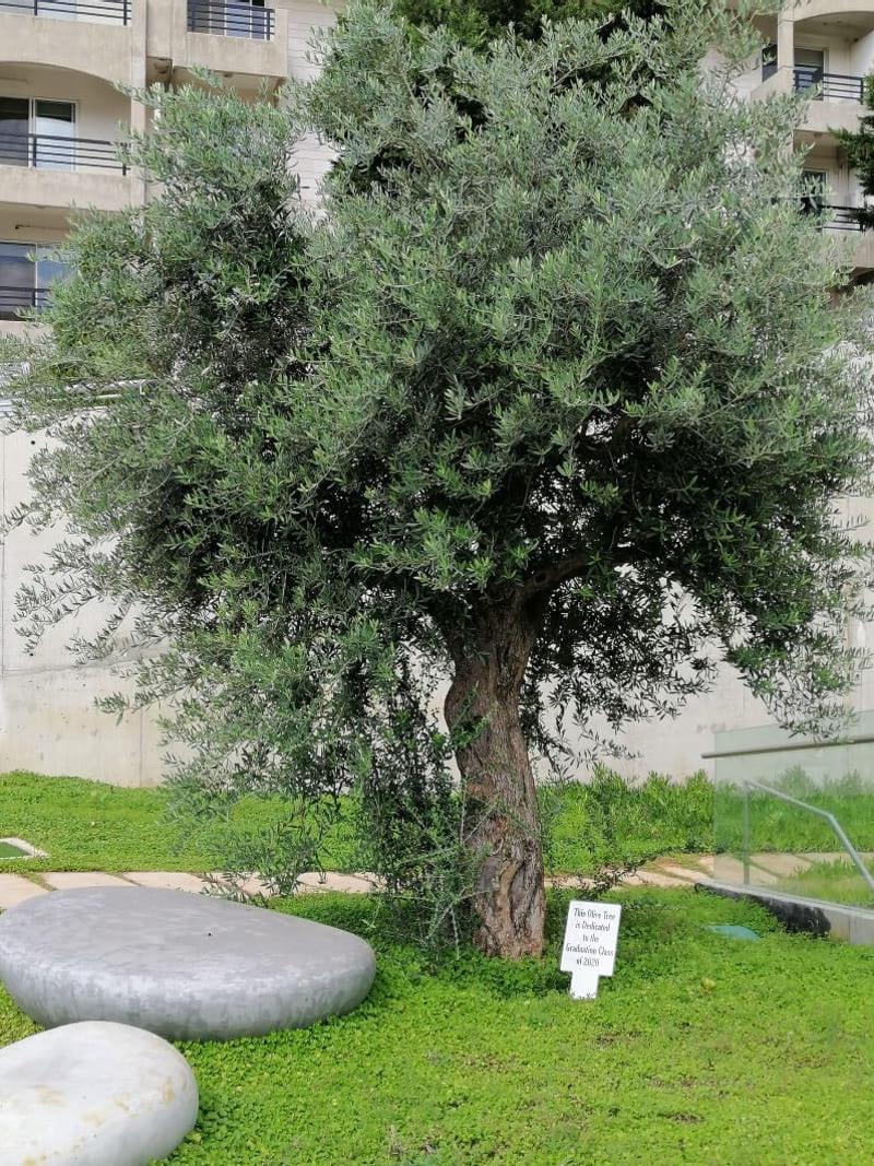 Byblos tree